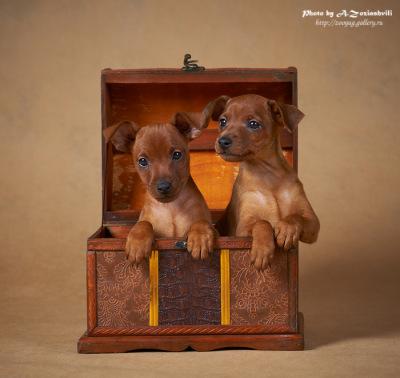Продаются щенки цвергпинчера 120136--49440108-400-ufd97a
