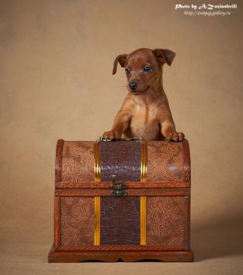 Продаются щенки цвергпинчера 120136--49440109-400-ua414b