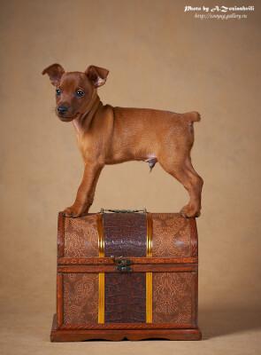 Продаются щенки цвергпинчера 120136--49440110-400-u49feb