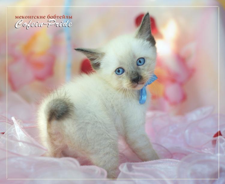 меконгский бобтейл, котёнок сил-пойнт