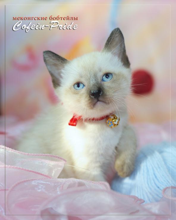 mekong bobtail kitten