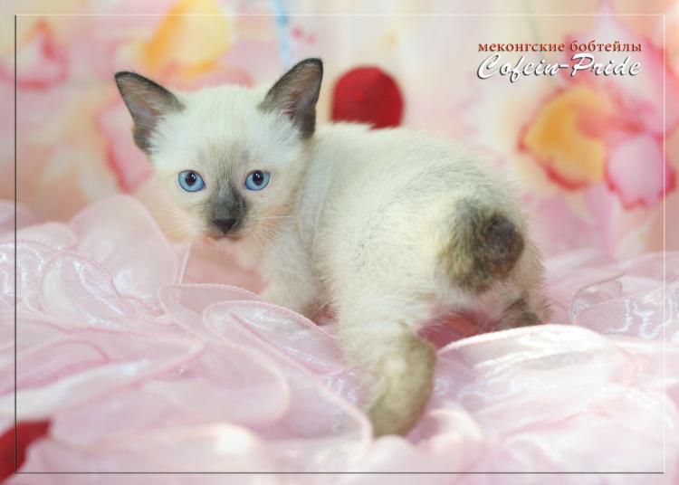 mekong bobtail kitten, sealpoint