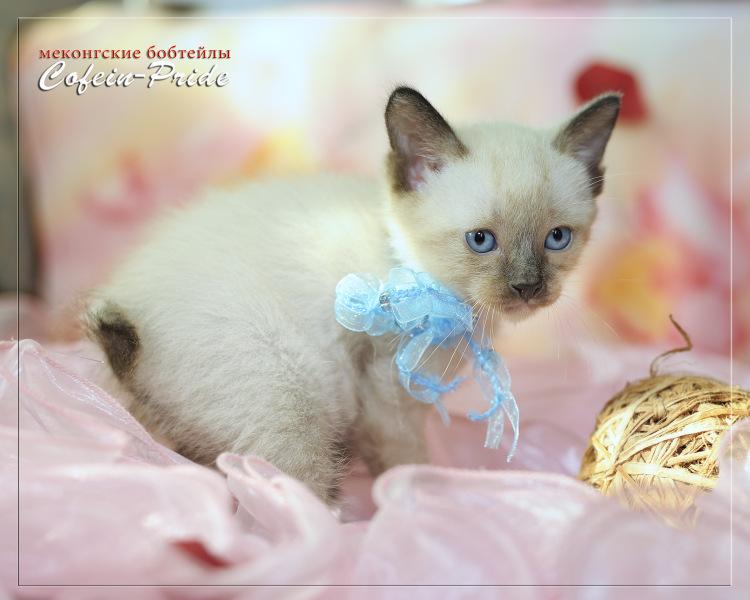 меконгский бобтейл, котёнок 4 недели