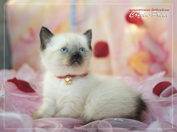 меконгский бобтейл котята от сентября