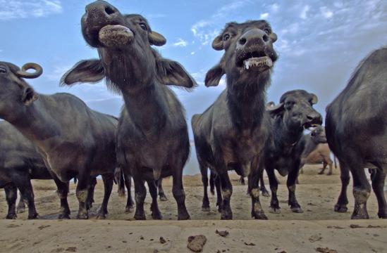 Коровы на берегу Ганга.