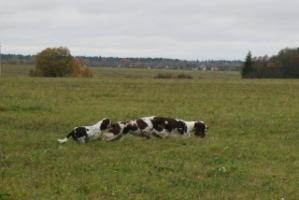 Спрингеры Foxberryhill's -Saima, Kaj, Gerda, Lotta, Connie, Violetta - Страница 6 194947--49049765-h200-u64b98
