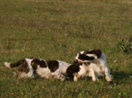 Спрингеры Foxberryhill's -Saima, Kaj, Gerda, Lotta, Connie, Violetta - Страница 6 194947--49050387-h200-ub4f2a
